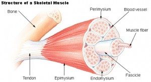 muscle_structure